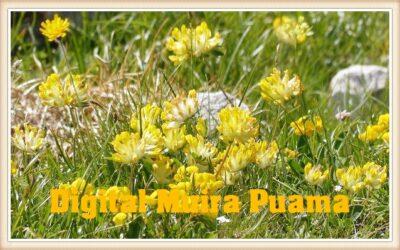 Digital Muira Puama (Ptychopetalum)